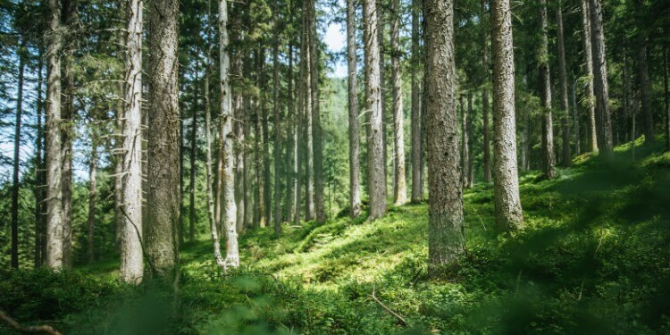 Fichtenholz Wald